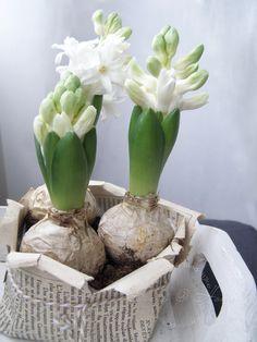 ♔ White Flower Bulbs