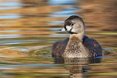 The Pied-billed Grebe (Podilymbus podiceps) is a species of the grebe family of water birds. Since the Atitlán Grebe (Podilymbus gigas) has become extinct, it is the sole extant member of the genus Podilymbus. The Pied-billed Grebe is primarily found in ponds throughout the Americas.