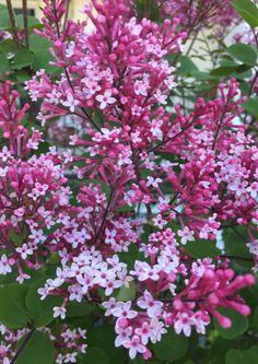 Zwergflieder Flowers, Plants, Lilac, Plant, Royal Icing Flowers, Flower, Florals, Floral, Planets