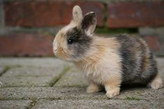 I have to find me one this color. Looks like maybe a Harlequin Dutch colored rabbit. Love it!