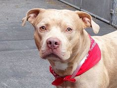 TO BE DESTROYED 07/01/14 Manhattan Center -P  My name is SAM. My Animal ID # is A1004076. I am a male brown and orange catahoula and amer bulldog mix. The shelter thinks I am about 2 YEARS   I came in the shelter as a STRAY on 06/21/2014 from NY 10465, owner surrender reason stated was OWNER DIED. https://www.facebook.com/photo.php?fbid=826347207378160set=a.611290788883804.1073741851.152876678058553type=3theater