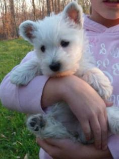 Super Adorable West Highland Terriers Westies 9 Weeks Old