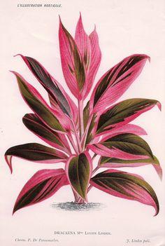 "Linden's L'Illustration Horticole -""""DRACAENA"""" - Chromolithograph - 1882"