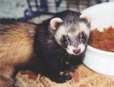 What elements make up balanced ferret nutrition, and what goes wrong when ferrets eat an imbalanced diet?