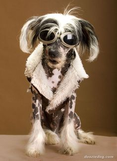 Chinese Crested Dogs   ...........click here to find out more     http://googydog.com