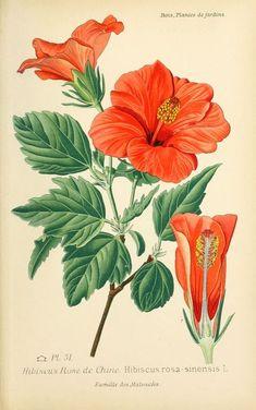 img/dessins plantes et fleurs jardins et appartements/dessin de fleur de jardin 0107 hibiscus rose de chine - hibiscus rosa-sinensis.jpg