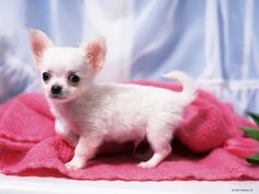 Lovely Puppy Portraits - Studio Shots of Cute puppies - Cute Chihuahua Puppy - Chihuahua Puppies Photos 19 Cute Chihuahua, Chihuahua Puppies, Baby Puppies, Baby Dogs, Dogs And Puppies, Chihuahuas, Chiweenie Puppies, Doggies, Terrier Puppies