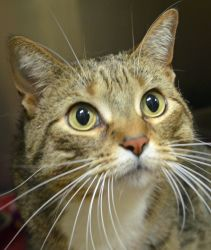 Tiger! An adoptable Domestic Short Hair Cat in Wyoming, MN.  Age: 6 years Breed: DSH- Brown Tabby w/White  How I Arrived At NHS: I was surrendered because my owner's daughter was allergic to me. Note From An NHS Volunteer: Tiger is an independent gal who loves to lounge and relax.
