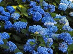 My beautiful hydrangeas!