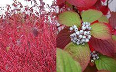 Rode Kornoelje (Cornus alba) | MijnTuin.org