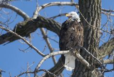 A bald eagle calls while perched in a tree scanning for prey on the Illinois River along River Beach Drive near Chillicothe. (Journal Star photo by David Zalaznik)