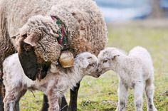"""This mother sheep caring for her two fuzzy lambs. 