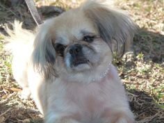 NAME:   ChelseaBREED:  PekingeseSEX:  FemaleCOLOR: tan/whiteAGE: 2-3 yrsWEIGHT:  12 lbsI LOVE TO:I HAVE:I GET ALONG WELL WITH:I WOULD RATHER NOT:I NEED:FOSTERED BY:  ToniLOCATED IN:  VeniceNOTES FROM FOSTER FAMILY:If you are interested in adopting...