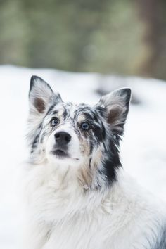 ©️️Jennifer Lourie Photography | winter lifestyle dog portraits, dog  @KaufmannsPuppy photography, Australian Shepherd in snow