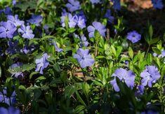 De beste Bodembedekkers Lavandula Angustifolia, Gypsophila, Geraniums, Plants, Half, Lawn, Babies Breath, Plant