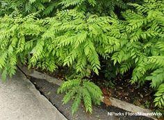Murraya koenigii (L.) Spreng.-curry leaf- moderate water