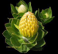 Leucospermum conocarpodendron