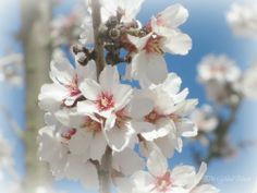 Almond Blossoms #spring