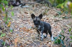 After a pregnant alpha female goes missing, staff at Azura Selous search to find her and her new litter of wild dog pups.
