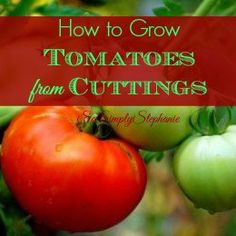 Simple guide on how to grow tomatoes from cuttings. Lots of information and great for both beginners and master gardeners.