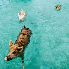 Swimming pigs in the Bahamas like to welcome boats laiden with food-bearing tourists to the island. Just one more reason to go to the bahamas. Nassau, Exuma Bahamas, Pig Island, Small Island, Farm Animals, Cute Animals, Pig Beach, Swimming Pigs, Bahamas Island