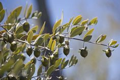 * Jojoba Fruits * (Simmondsia chinensis).