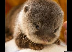"Baby otters win today's ""Holy cow how friggin' cute is that?!?!?"" contest."