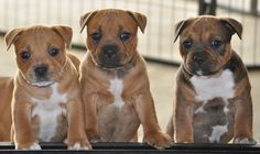 Staffordshire Bull Terrier, Bull Terriers, Staffy Dog, Magnificent 7, Family Dogs, Pit Bulls, Best Dogs, Puppies, Foxes