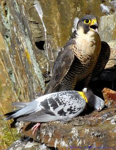 Female Peregrine Falcon.