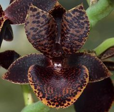 Garden Flowers - Annuals Or Perennials Orchid Dragons Tail 'Dim Tale' Unusual Flowers, Rare Flowers, Black Flowers, Types Of Flowers, Beautiful Flowers, Orchid Plants, Orchids, Dragon Tail, Black Garden