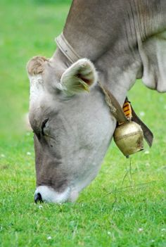 beautiful cow wearing a cowbell