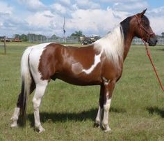 Turbo-Tennessee Walking Horses for Sale | Georgia Tennessee Walking Horses For Sale or Lease - Turbo