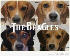 The Beagles - Animals, Funny, Music - Fo'Drizzle