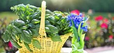 As far as possible, this post will concentrate on pest control tips that would assist keep away as much pests as you can. Some of the advises provided here will deal on specific pests but some may … Fly Repellant, Insect Repellent, Repeler Mosquitos, Compost, Container Gardening, Gardening Tips, Plants That Repel Flies, Grands Pots, Mosquito Repelling Plants