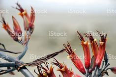 Harakeke (New Zealand Flax) in Bloom royalty-free stock photo New Zealand Flax, Flax Flowers, Kiwiana, Annual Plants, Image Now, Fine Art Photography, Royalty Free Stock Photos, Bloom, Illustration