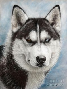 Siberian Husky Art Print featuring the drawing Siberian Husky by Tobiasz Stefaniak Animal Paintings, Animal Drawings, Husky Drawing, Snow Dogs, Reproduction, Dog Portraits, Cute Funny Animals, Dog Photos, Beautiful Dogs