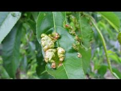 In this video Dan shares with you how to go about preventing and combating the dreaded fruit tree disease known as peach leaf curl aka (Taphrina deformans) u.