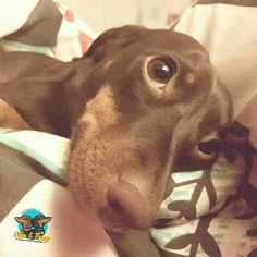 Lazy Sunday sleep in!  #sundaymorning #dogs #ollieandpenny