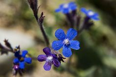 blue flower Photo by iman vaghefi -- National Geographic Your Shot