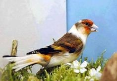 Goldfinch, Gods Creation, Finches, Feathers, Bb, Beautiful, Nature, Colors, Colorful Birds