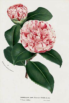 1845 Charles Lemaire, Louis Van Houtte Camellia japonica Prints.