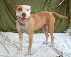 Strawberry is an adoptable Pit Bull Terrier Dog in Polson, MT. Strawberry rescued from a high kill shelter on her last day is looking for her new home She can be transported up to Montana area . If in...