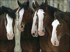 The Clydesdale is a breed of draught horse derived from the farm horses of Clydesdale, Scotland, and named after that region. Although originally one of the smaller breeds of draught horses, it is now a tall breed.