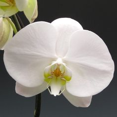 Phalaenopsis Orchids | Orchid Plants - White Phalaenopsis | Orchidaceous! Orchid Blog