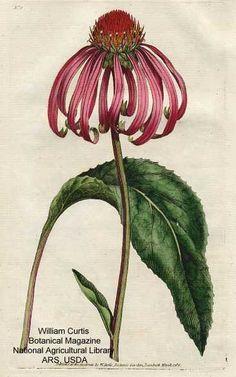 Antique Botanical print - Echinacea