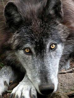 Sweet innocence. Tell me why this wolf, or any other, deserves to die? Stop killing the wolves!