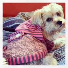 Yorkie Dog:  Penny in her new hooded sweater jacket!!! www.fetchdogfashions.com #yorkshire terrier #puppy