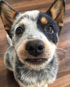 Australian Cattle Dog, Australian Shepherd, Dog Boarding, Dog Photography, Baby Dogs, Beautiful Creatures, Dog Breeds, Cute Dogs, Dog Lovers