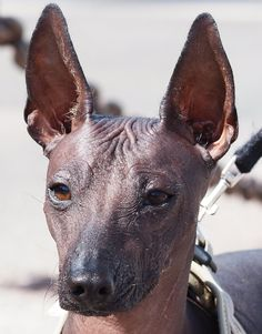 what a noble, intelligent expression...a very sacred dog according to the ancient Peruvian people /PERUVIAN HAIRLESS DOG
