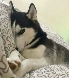 Cute Baby Dogs, Cute Little Puppies, Cute Little Animals, Cute Funny Animals, Cute Husky Puppies, Cute Dogs And Puppies, Husky Puppy, Doggies, Red Husky